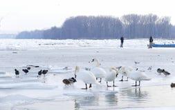 Caminhada dos povos no Danube River congelado Imagens de Stock Royalty Free