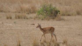 Caminhada fêmea da impala do antílope em planícies africanas na estação seca com grama secada vídeos de arquivo