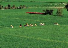 Caminhada japonesa dos alunos através de um paddie do arroz Fotografia de Stock