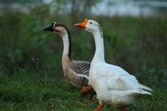 Caminhada junto sempre Duck Wallpaper fotos de stock royalty free