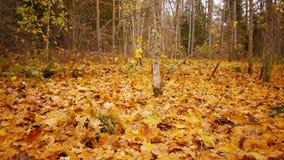 Caminhada na floresta do outono vídeos de arquivo