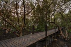 Caminhada nos manguezais Imagem de Stock