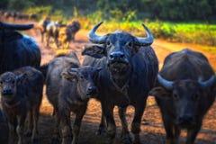 A caminhada tailandesa do búfalo sobre o campo vai para trás em casa com por do sol Máquina de Life do fazendeiro Imagens de Stock