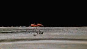 caminhada vermelha da formiga na folha foto de stock royalty free