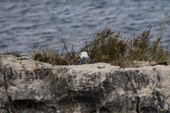 Caminhadas brancas e cinzentas do pássaro da gaivota fotografia de stock royalty free