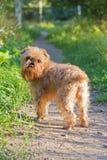 Caminhadas de Bruxelas Griffon da raça do cão Foto de Stock Royalty Free