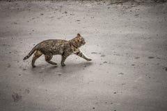 Caminhadas de gato ao longo da rua apenas Fotos de Stock Royalty Free