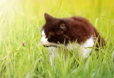 Caminhadas de gato bonitas através de um prado verde e das capturas um ladyb fotografia de stock