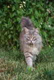 Caminhadas de gato cinzentas macias na grama seca Fotografia de Stock