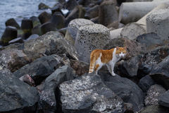 Caminhadas de gato em rochas Imagem de Stock Royalty Free