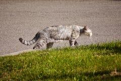 Caminhadas de gato em torno da rua Fotografia de Stock Royalty Free