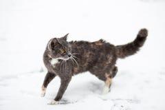 Caminhadas de gato na neve Fotografia de Stock