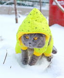 Caminhadas de gato na neve Fotos de Stock