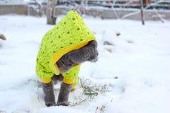 Caminhadas de gato na neve Imagem de Stock Royalty Free