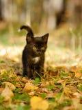 Caminhadas de gato preto nas madeiras Imagem de Stock