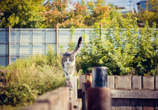 Caminhadas de gato só Fotos de Stock