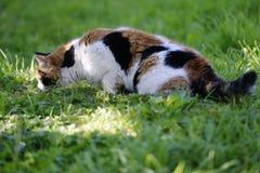 Caminhadas de gato Tricolor em um gramado verde Imagens de Stock Royalty Free