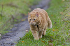 Caminhadas de gato vermelhas na grama do outono imagem de stock