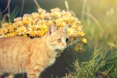 Caminhadas de gato vermelhas no jardim Fotografia de Stock