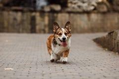 Caminhadas do Corgi Fotografia de Stock