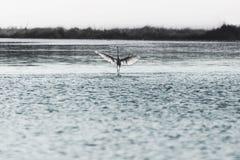 Caminhadas do pássaro na água para tomar o voo no meio da natureza Fotos de Stock