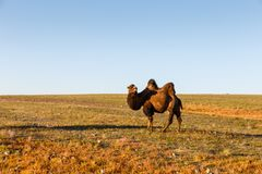 Caminhadas two-humped de um camelo no deserto de Gobi fotografia de stock royalty free