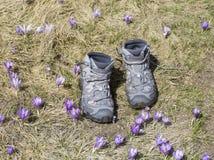 Caminhando botas entre açafrões roxos Fotografia de Stock Royalty Free