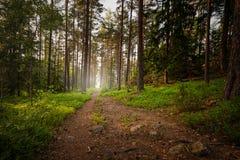 Caminhando a trilha na floresta durante um summerset Imagens de Stock