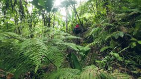 Caminhante com a trouxa que trekking no homem de viagem da floresta úmida densa que anda no trajeto de floresta ao viajar na selv vídeos de arquivo