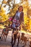 Caminhante do cão que aprecia com cães ao andar fora foto de stock