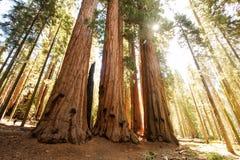 Caminhante no parque nacional de sequoia em Calif?rnia, EUA foto de stock royalty free