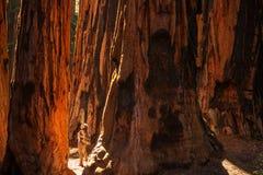 Caminhante no parque nacional de sequoia em Calif?rnia, EUA imagens de stock