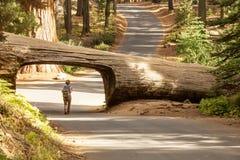 Caminhante no parque nacional de sequoia em Calif?rnia, EUA foto de stock