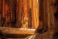 Caminhante no parque nacional de sequoia em Calif?rnia, EUA imagens de stock royalty free