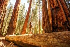 Caminhante no parque nacional de sequoia em Calif?rnia, EUA imagem de stock royalty free