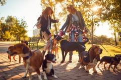 Caminhante profissional do cão que aprecia com cães ao andar fora foto de stock royalty free