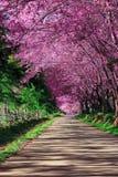 Caminho da flor de cereja Fotos de Stock