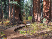 Caminho de convite, sequoias gigantes fotografia de stock royalty free