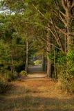 Caminho do pinheiro do túnel no fundo da natureza da floresta fotografia de stock