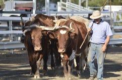 Caminhoneiro com a equipe do boi dos bois que ara o campo no garfo fotos de stock royalty free