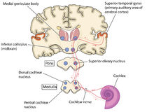 Caminhos de nervo da orelha ao cérebro ilustração do vetor