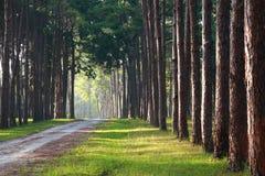 Camino con el árbol de pino en sideway Fotos de archivo