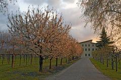 Camino con los árboles del flor de cereza Fotografía de archivo