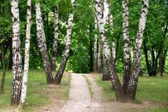 Camino de bosque del abedul Foto de archivo libre de regalías