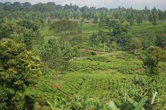 Camino de la caminata del té Imagen de archivo libre de regalías