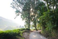 Camino de la colina dentro de la plantación de té con la niebla de la mañana, Cameron Highland, Malasia Imagen de archivo libre de regalías