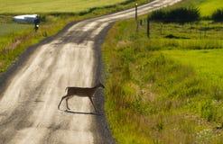 Camino de la grava de la travesía de los ciervos Fotografía de archivo