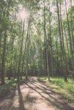 camino de la grava en el bosque del árbol de abedul - mirada de la película del vintage Imagenes de archivo