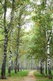 Camino de la mañana en parque del abedul del otoño de la niebla Fotos de archivo libres de regalías