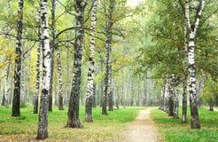 Camino de la mañana en parque del abedul del otoño de la niebla Foto de archivo libre de regalías